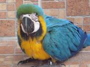 3дома,  поднятые и зарегистрирован синих и золотых попугаи ара для прод