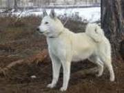 Продается щенок западно-сибирской лайки