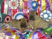 шар-пея щенков с родословной